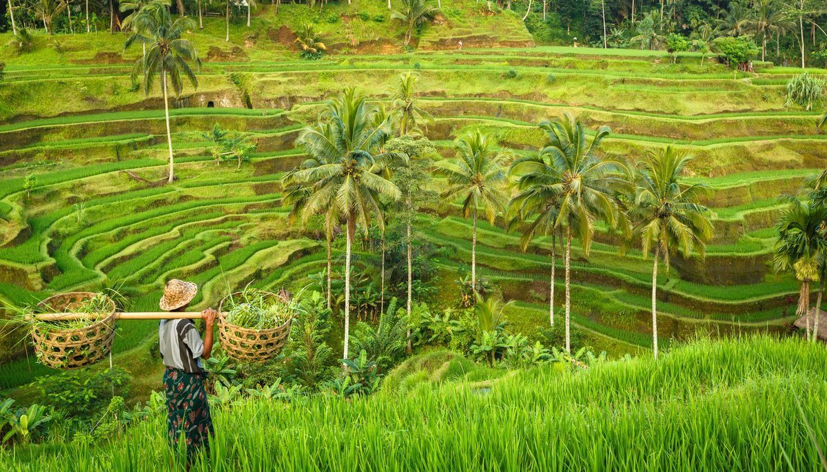 Reisplantage auf Bali © asab974/Adobe Stock