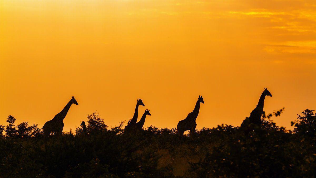 Giraffen im Kruger Nationalpark © UTOPIA/AdobeStock
