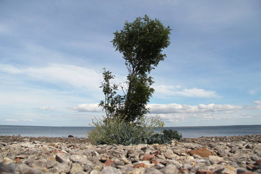 Saaremaas Küsten sind häufig ... mit Kieselsteinen übersät, es gibt aber auch viele kleine einsame Buchten mit Sandstrand. Hier lässt es sich im Sommer herrlich ungestört schwimmen – der Herbst lädt eher zu einem gemütlichen Strandspaziergang ein. © Jessica Mintelowsky