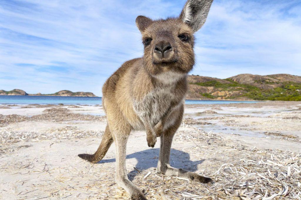 Ein kleines Känguru steht am Strand und schaut freundlich in die Kamera. Im Hintergrund sind Felsen und das Meer.