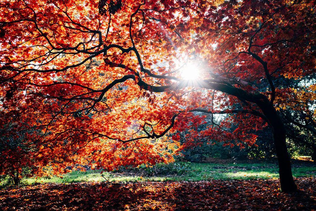 Ein herbstlich verfärbter Ahorn wird von der Sonne angestrahlt.