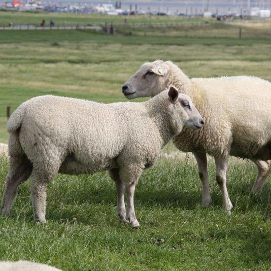 Zwei Schafe auf einem Deich in Ostfriesland